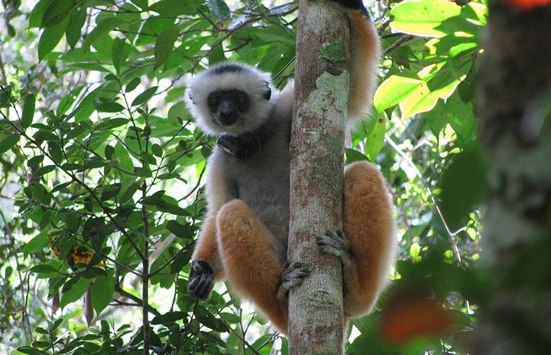 Andasibe-Mantadia National Park, Madagascar-diademed sifaka with radio collar