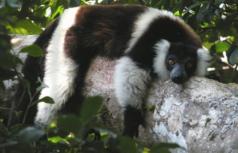 Black-and-white Ruffed Lemur, Nosy Mangabe, Madagascar