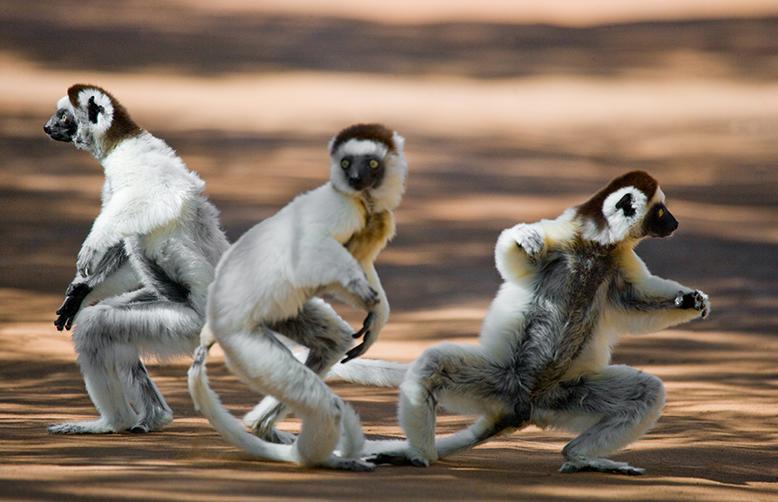 Madagascar dancing sifakas