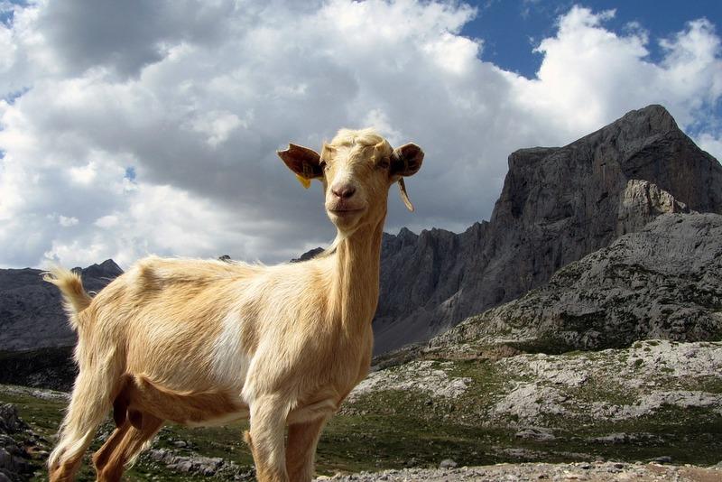 Ibex goat in Picos de Europa Asturias