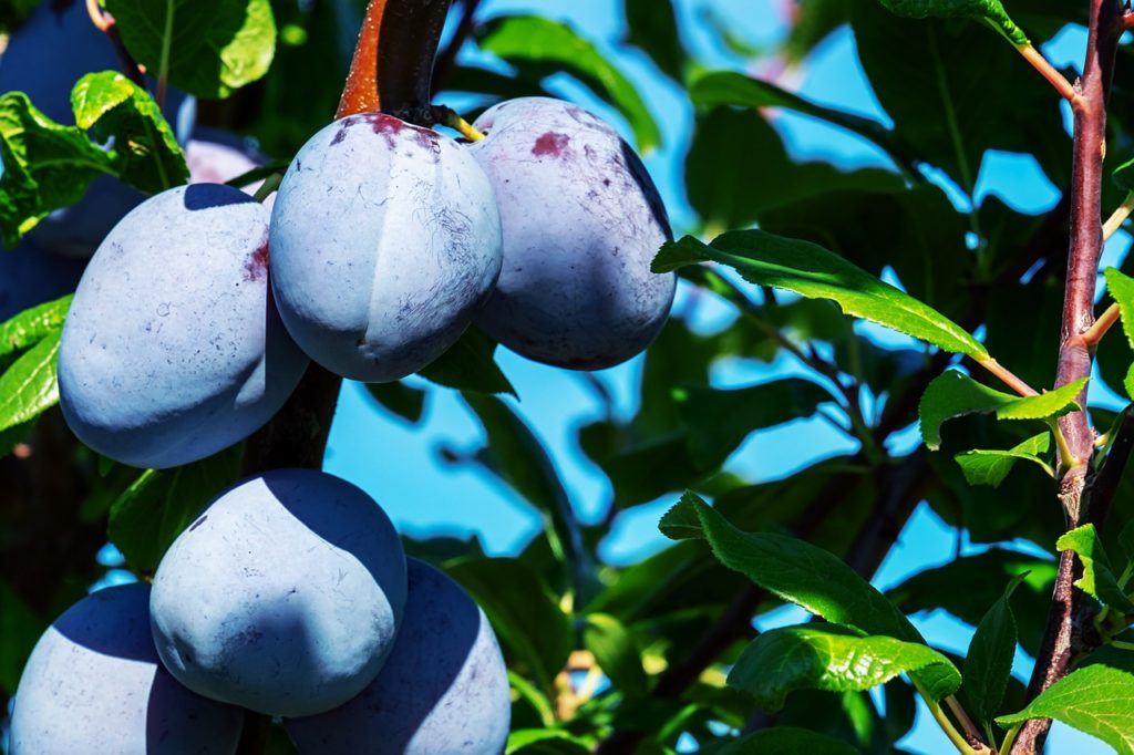 Agen France plum tree