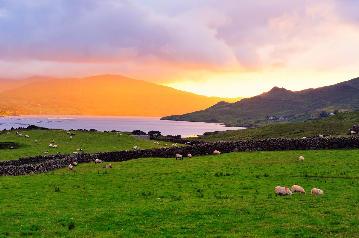 County Galway beautiful places-Killary Harbour sheep grazing