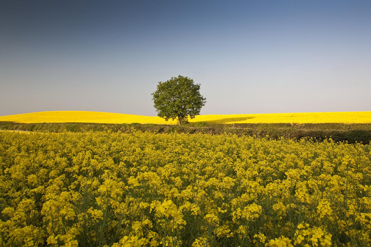 lone tree yellow