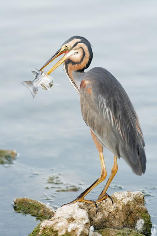 Delta de l'Ebre Grey Heron Fishing