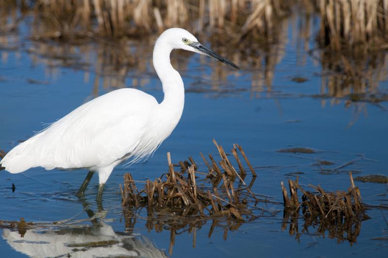 Delta de l'Ebre Little Egret