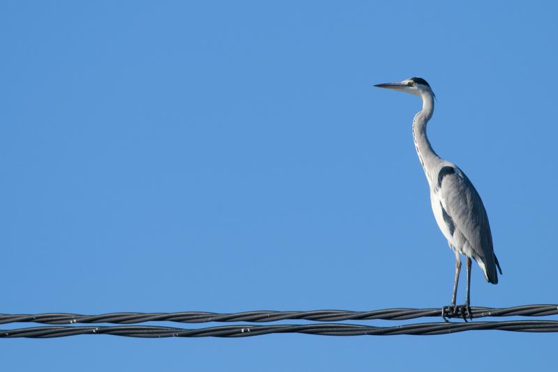 Delta de l'Ebro Grey Heron On Wire