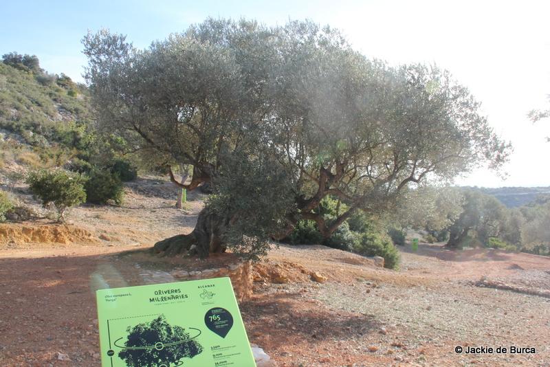 Millenial olive trees Catalonia Olea Europaea