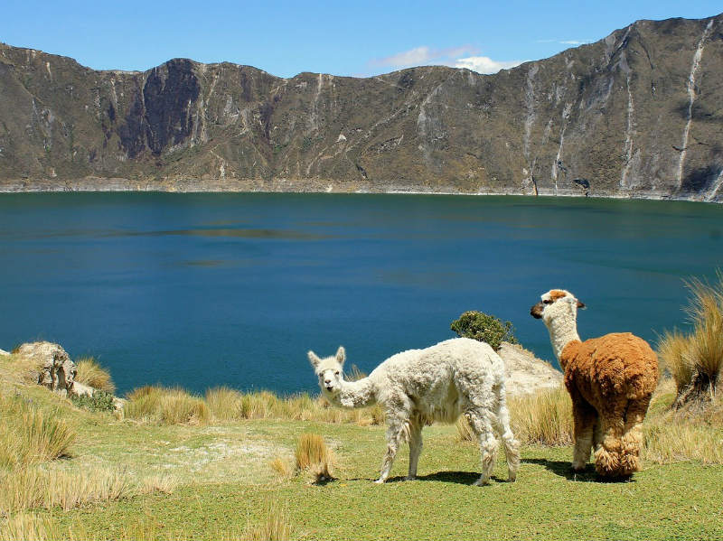 llamas-Ecuador