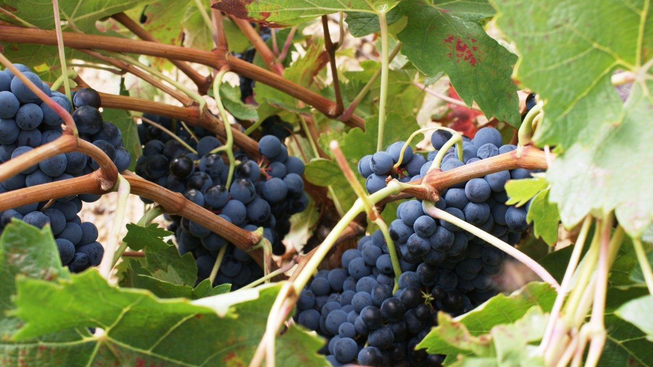 Rioja wine tours Spain travel ©Thabuca Wine Tours-Rioja-grapes