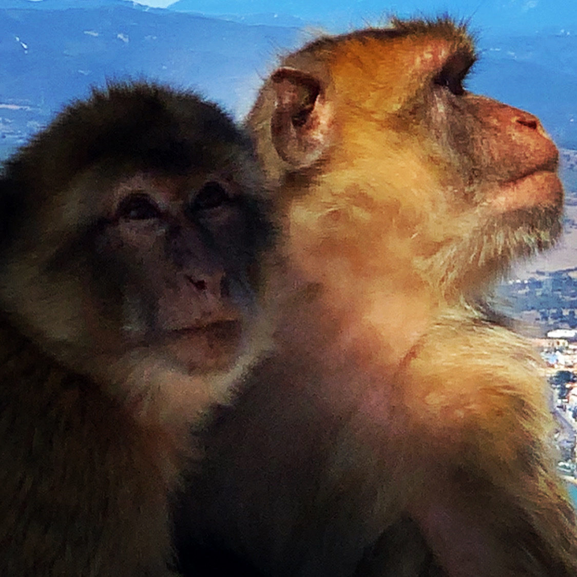 Gibraltar Barbery Monkeys