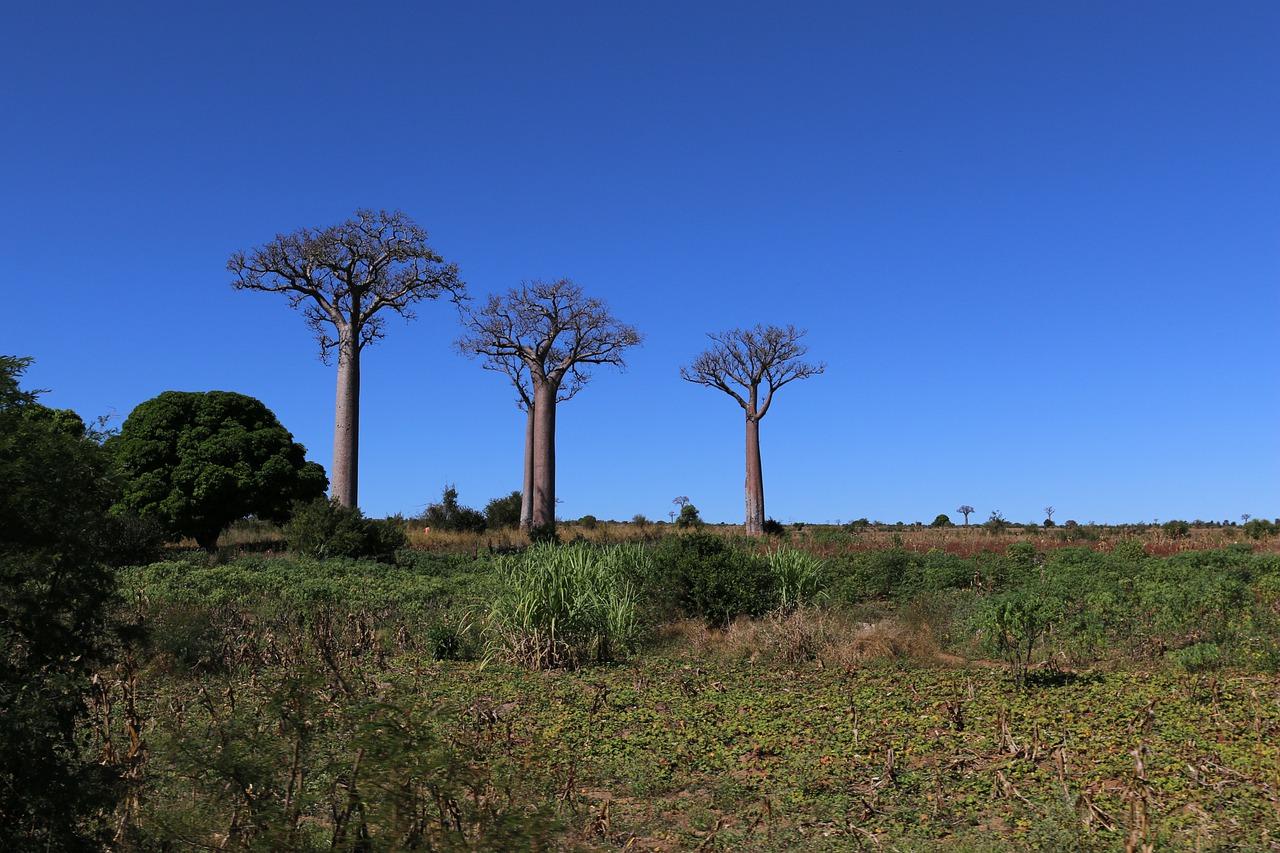 Adansonia grandidieri - Baobab of Madagascar