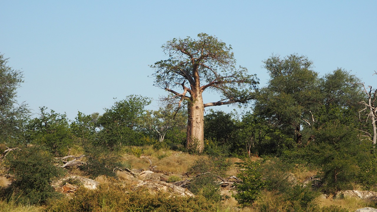 characteristics of baobabs in Madagascar