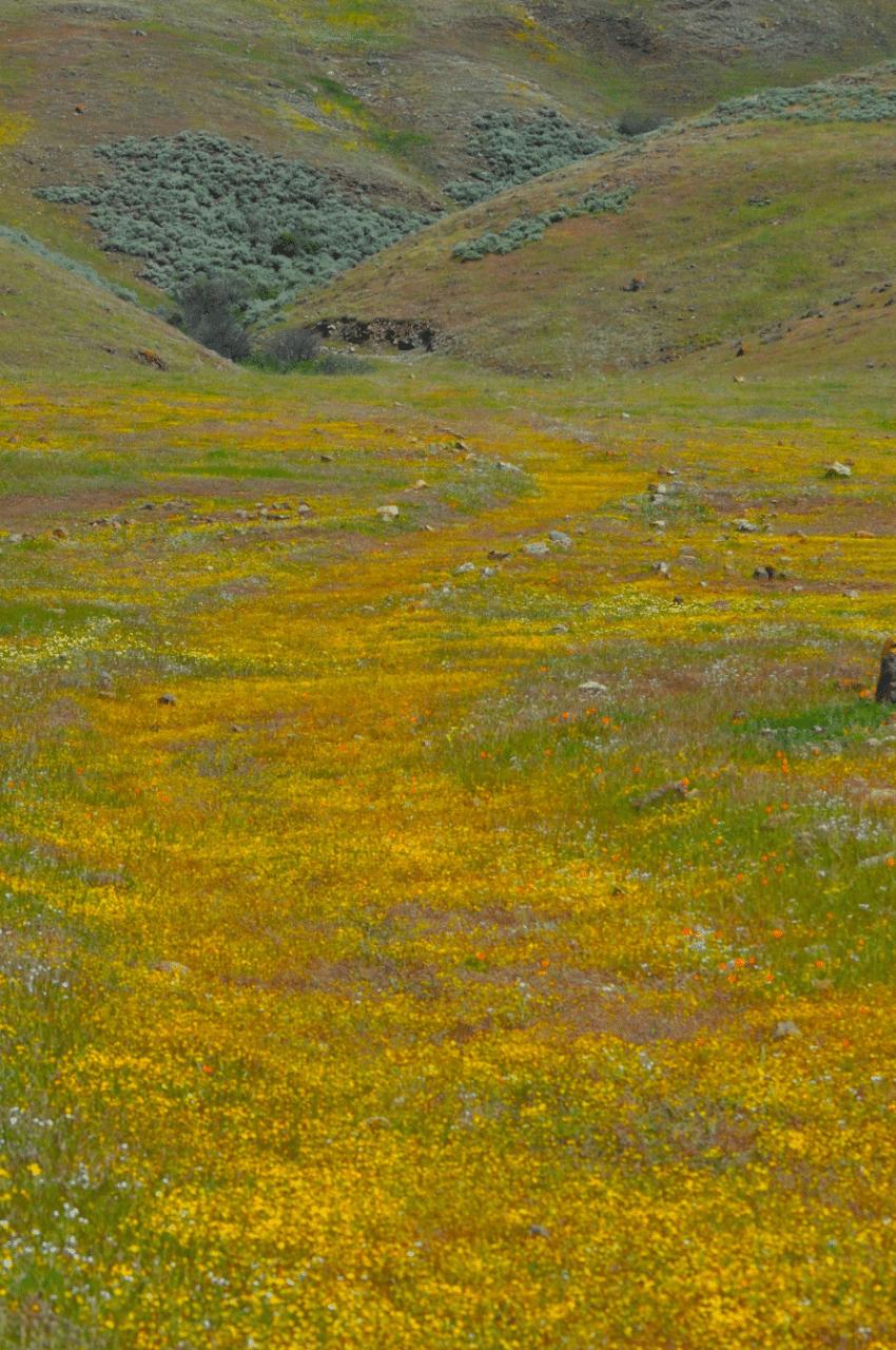 Wildfowers California - Byddi Lee